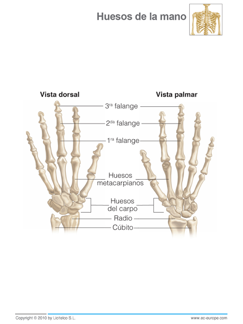 2º Eso Educación Física Sistema óseo El Esqueleto Humano