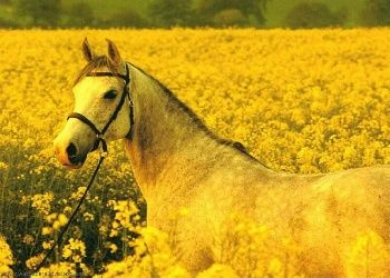 Yellow Horse Wallpaper Horses Yellow Art