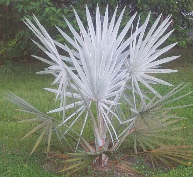 How To Grow Bismark Palm Live Bismark Palm Tree Blue