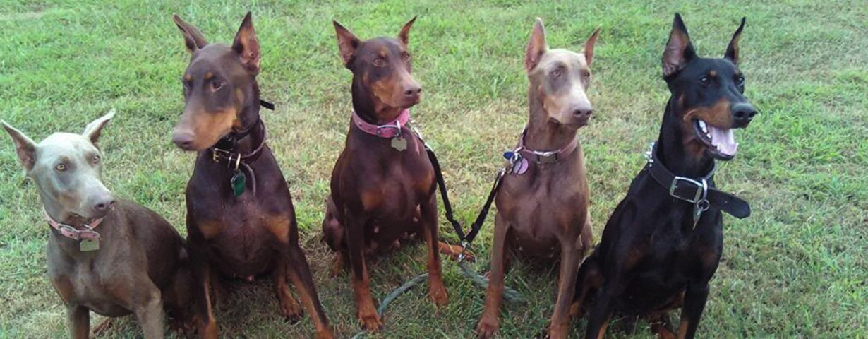 European Doberman Colors Google Search Doberman Colors