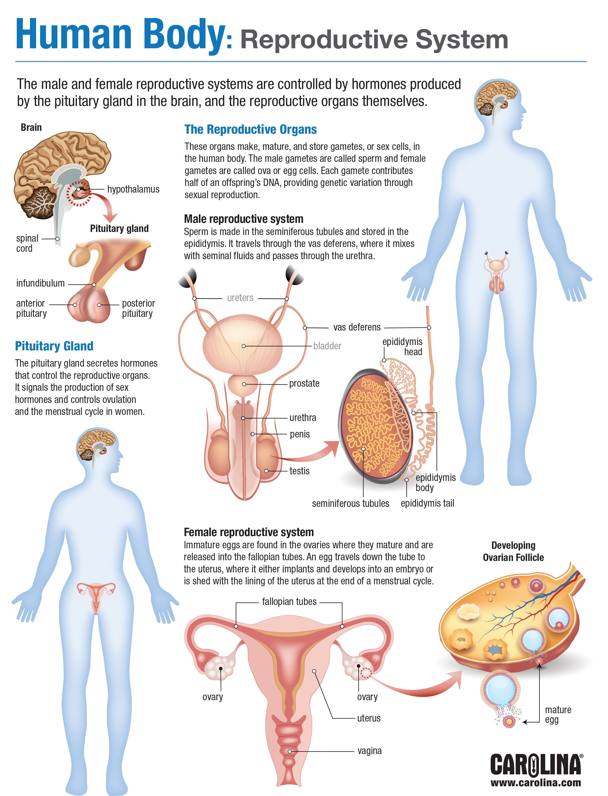 Infographic - Human Body: Reproductive System | education ...
