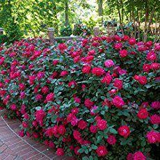 Knockout Roses Care - Züchte wunderschöne Knockout-Rosen [5 SMART TIPS #knockoutrosen
