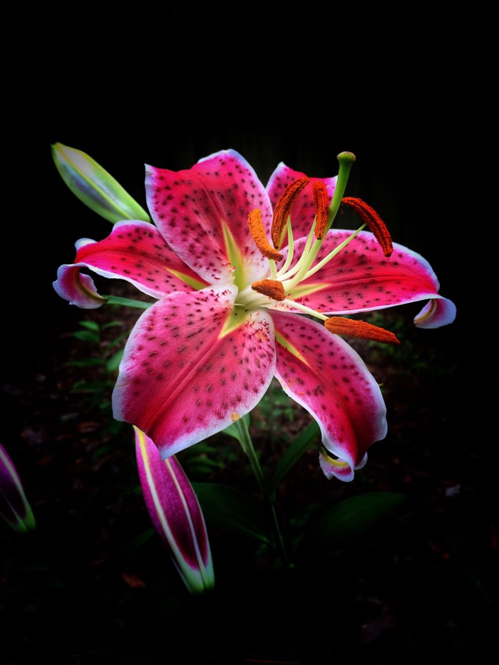 Stargazer Lily Lily Plants Day Lilies Beautiful Flowers