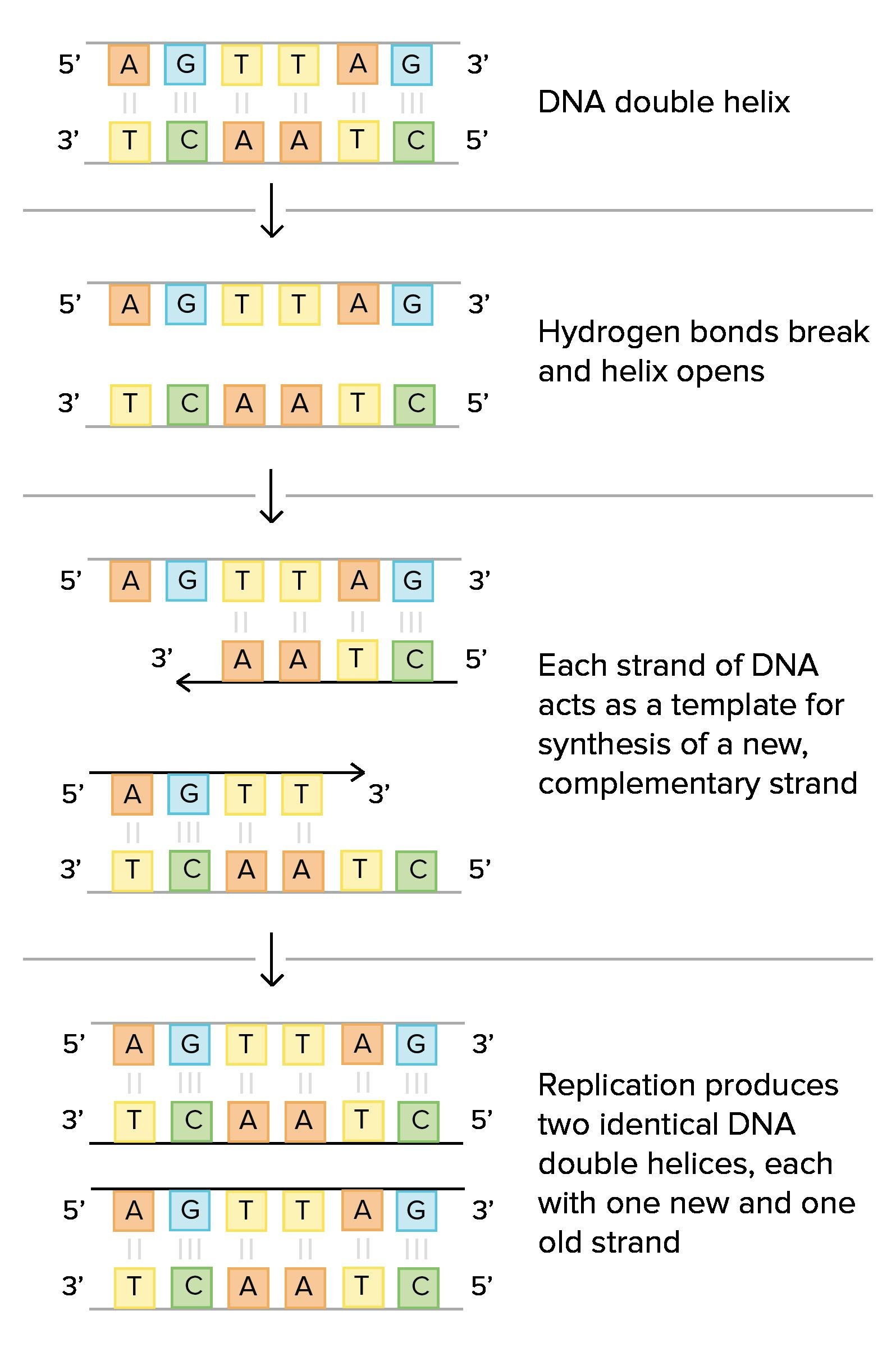 Periodic Structure Of Dna And Replication Worksheet Biologi