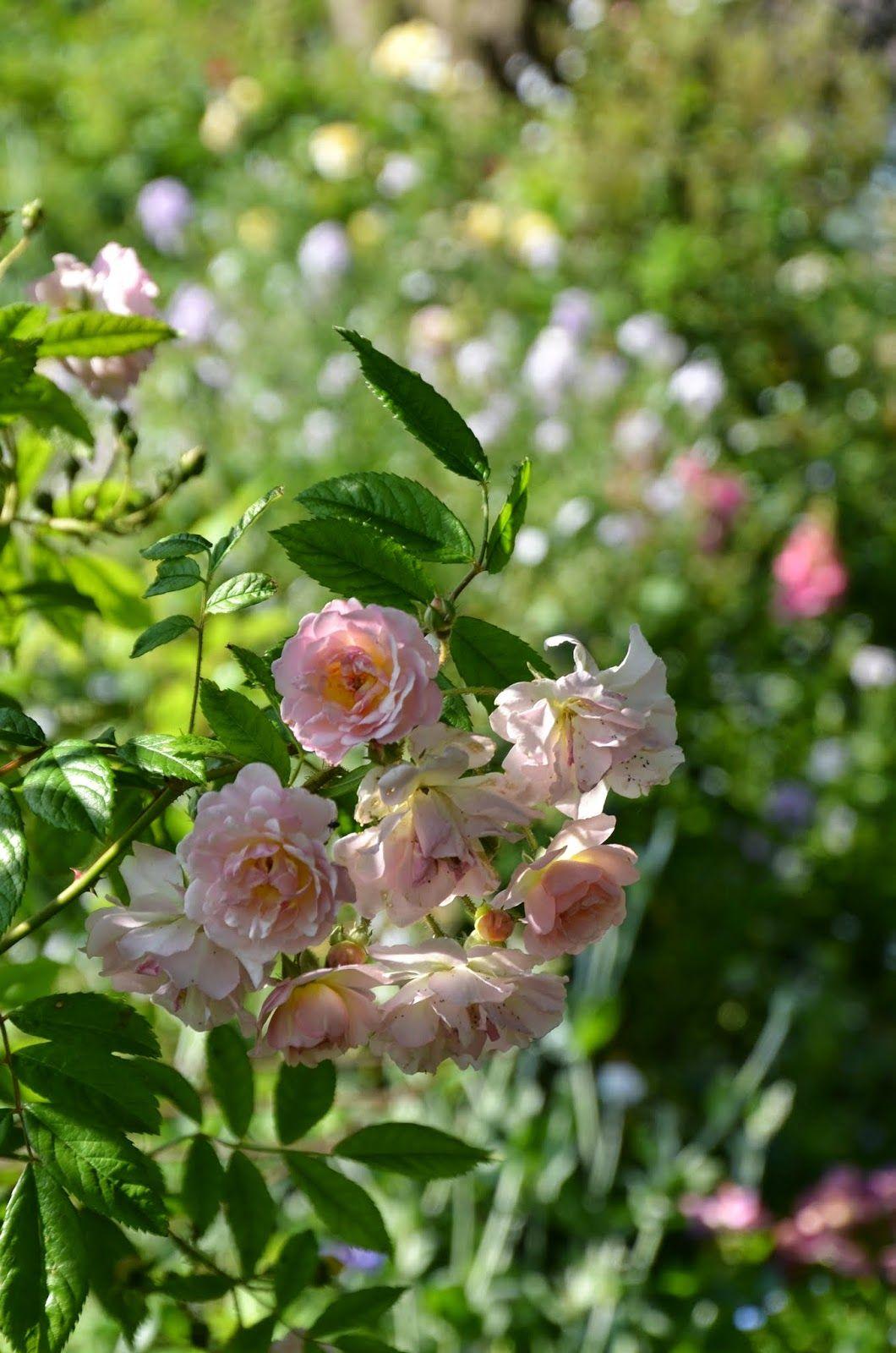 Mon Jardin Mes Merveilles: Roses entre ombre et lumière (1/3 ...