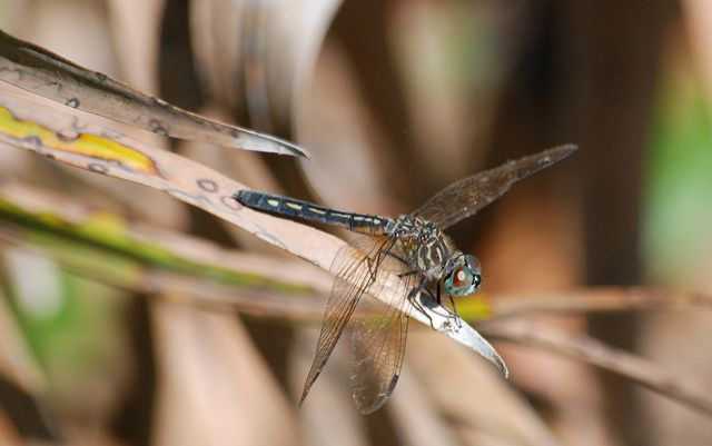 dragon fly by Flickr User: chefrx