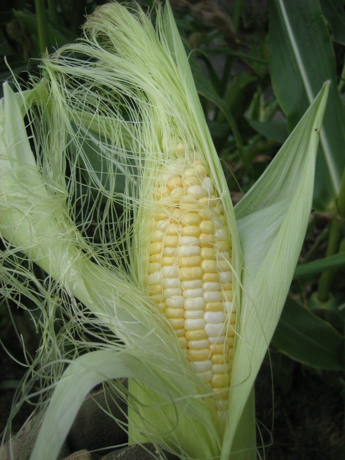 How To Grow Sweet Corn In Home Gardens Does Your