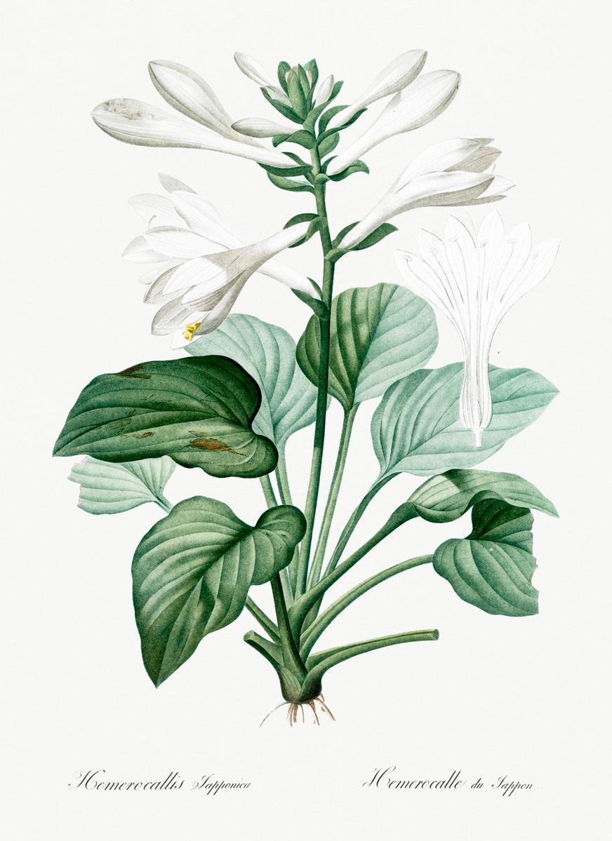 Tesori D Archivio Le Illustrazioni Botaniche Di Pierre Joseph Redoute Da Scaricare Gratuitamente Frizzifrizzi Illustrazione Botanica Emerocallide Botanica