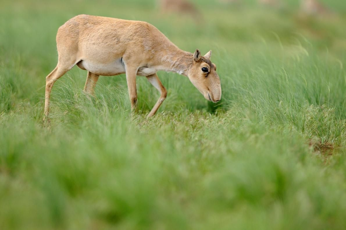 This Odd Nosed Antelope Is Experiencing A Mass Die Off サイガ 動物 絶滅危惧種