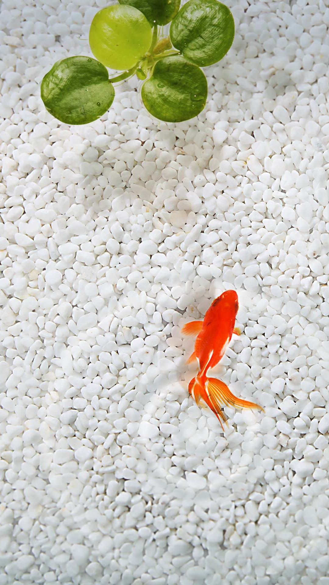 Orange Fish White Stone Aquarium iPhone 6 Plus HD