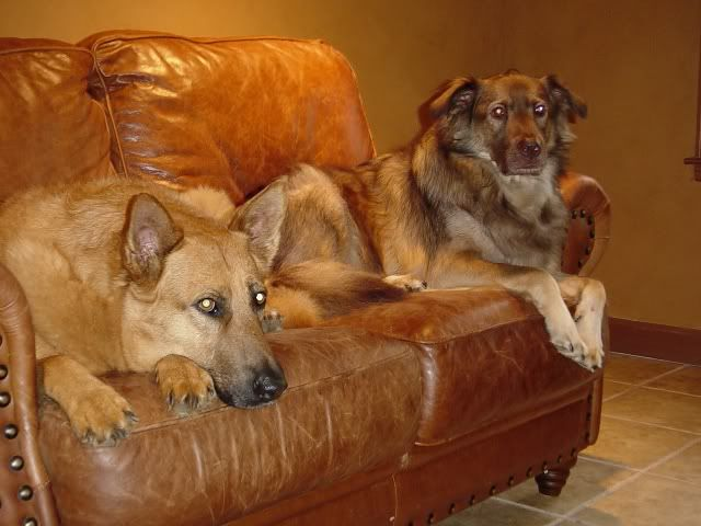 Dogs And Leather Furniture More