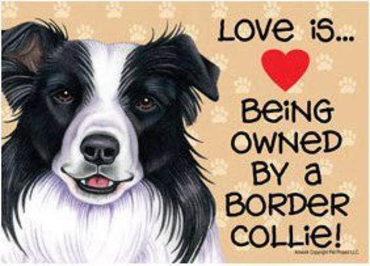 Pin By Thanuja Perera On Dog World Border Collie Collie Collie Dog