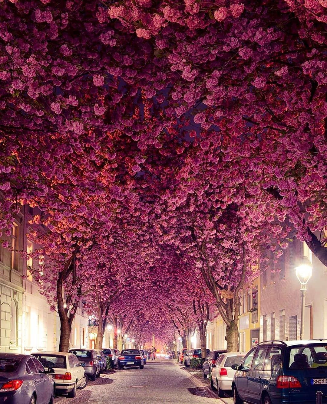 Art Architecture On Instagram Describe This Amazing Street In One Word A Street Full Of Cherry Blossoms Located Nature Pictures Blossom Trees Tree Seeds