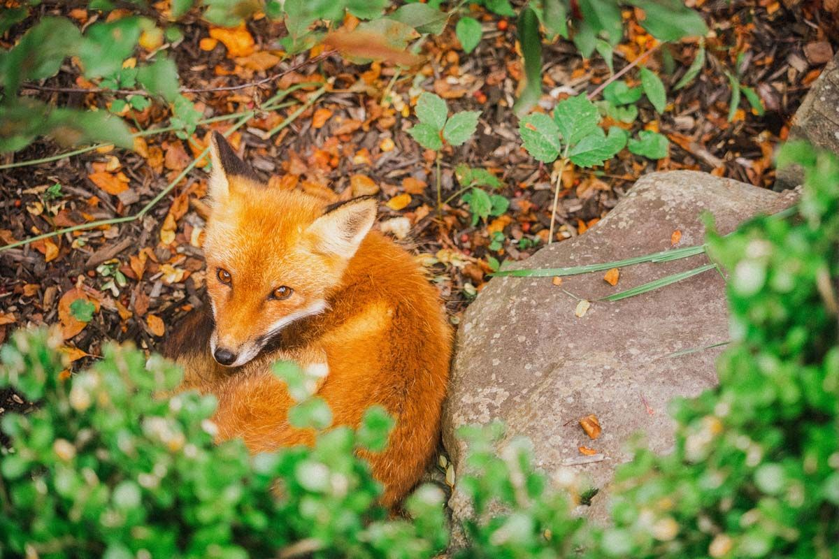 10 Places Foxes Call Home in 2020 Fox species, Fox, Fox