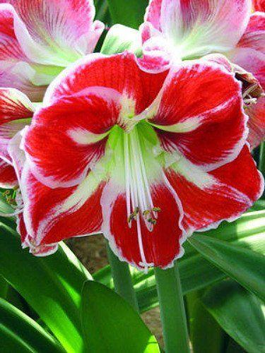 Samba Giant Dutch Amaryllis Bulb Red White Bicolors Bloemen Bollen