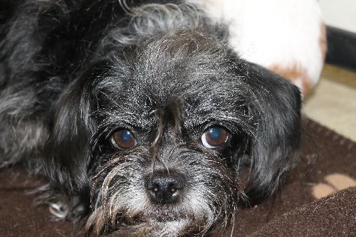 Adopt Pixie On Pixie Chihuahua Mix Adoption
