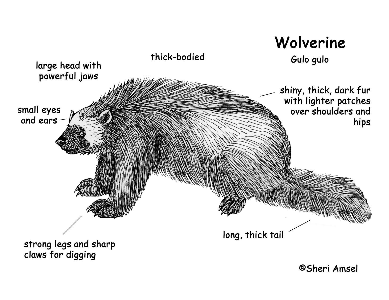 black Bear Body Diagram Download Hi-Res B&W Diagram