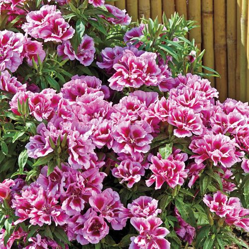 Godetia A Rembrant Spring Hill Nursery Easy Plants To Grow Flower Seeds