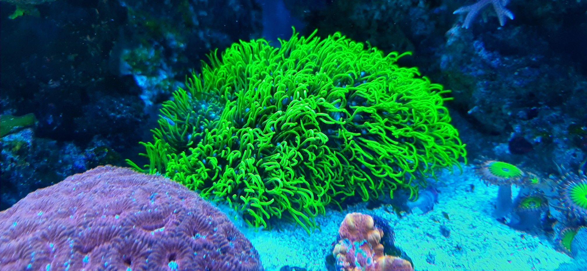 Kalkachsenkoralle Green Star Polyp In 2020 Polyp Green Saltwater Aquarium