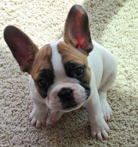 Adorable French Bulldog Puppy 10 Weeks Old Want One With These