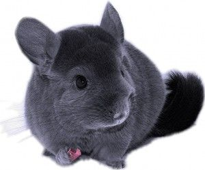 Chinchilla care - photo#49