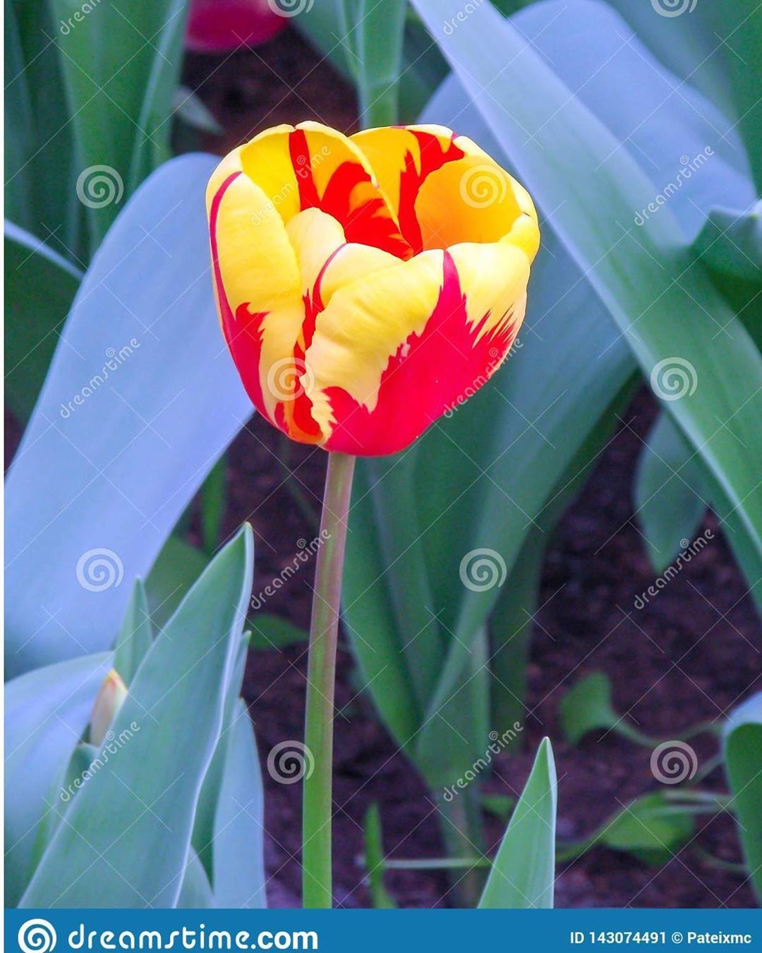 Dutch flamed red and yellow tulip in Amsterdam The Netherlands. . On - Dutch…