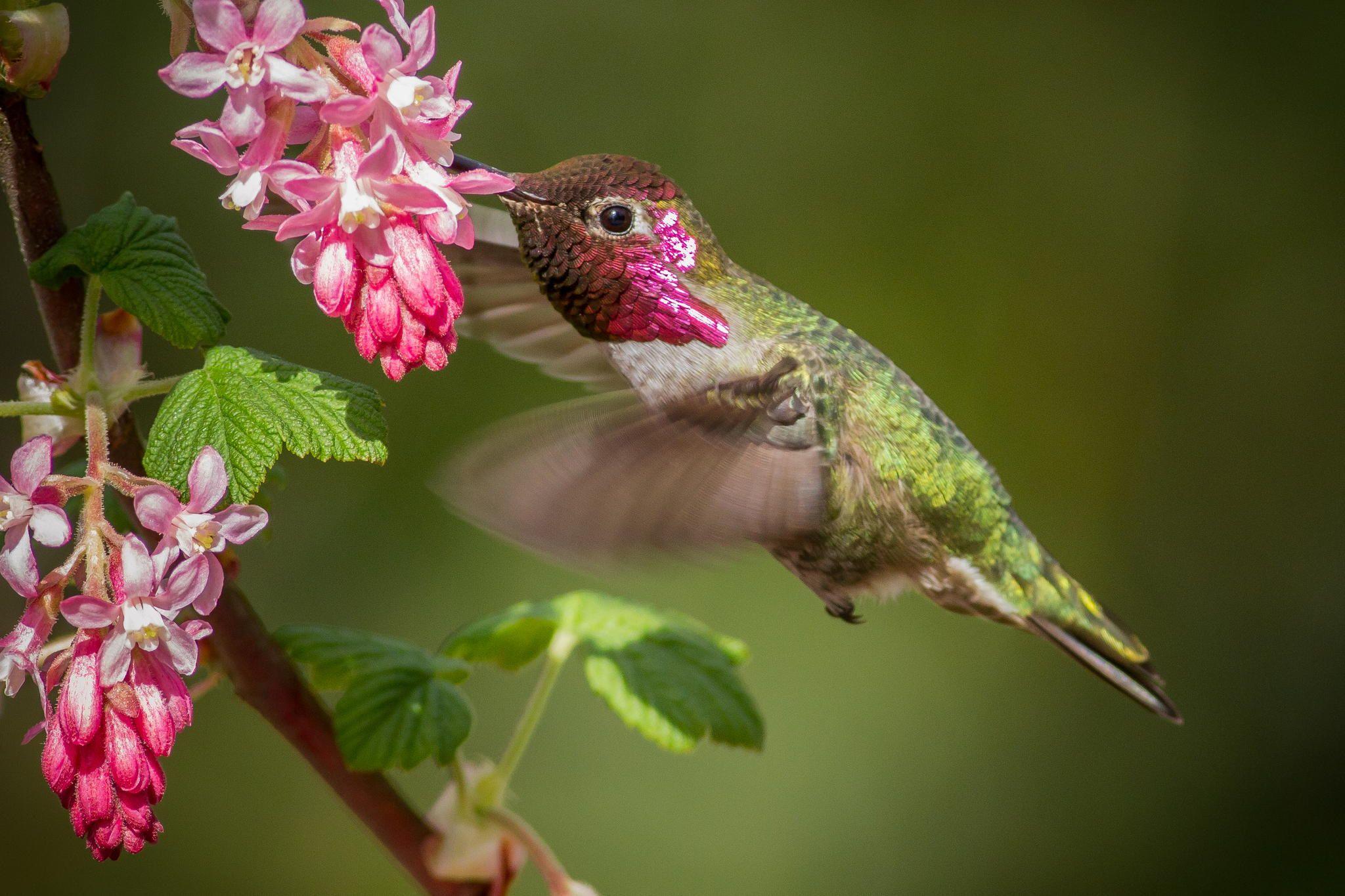 Anna's Hummingbird by Geoffrey Shuen on 500px