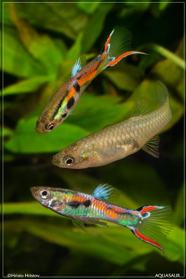 Endlers guppy google s gning guppies pinterest for Endler guppy