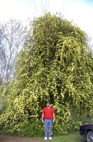 Lady Banks Yellow Climbing Rose I Ve Seen One This Tall