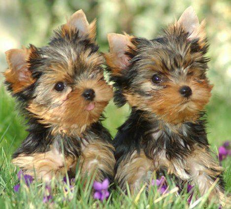 Pin By Glenna Douglas On Yorkies Are Angels Yorkie Lovers Yorkie Terrier Yorkie Dogs