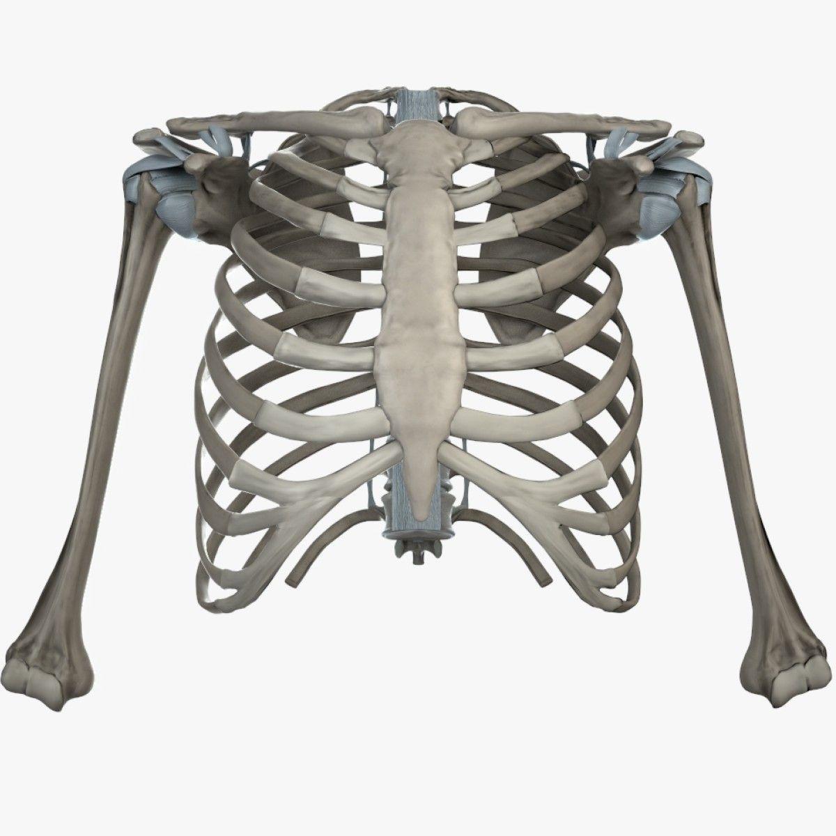 Shoulder Bones Anatomy Thoracic 3D Fbx - 3D Model | 3D-Modeling ...