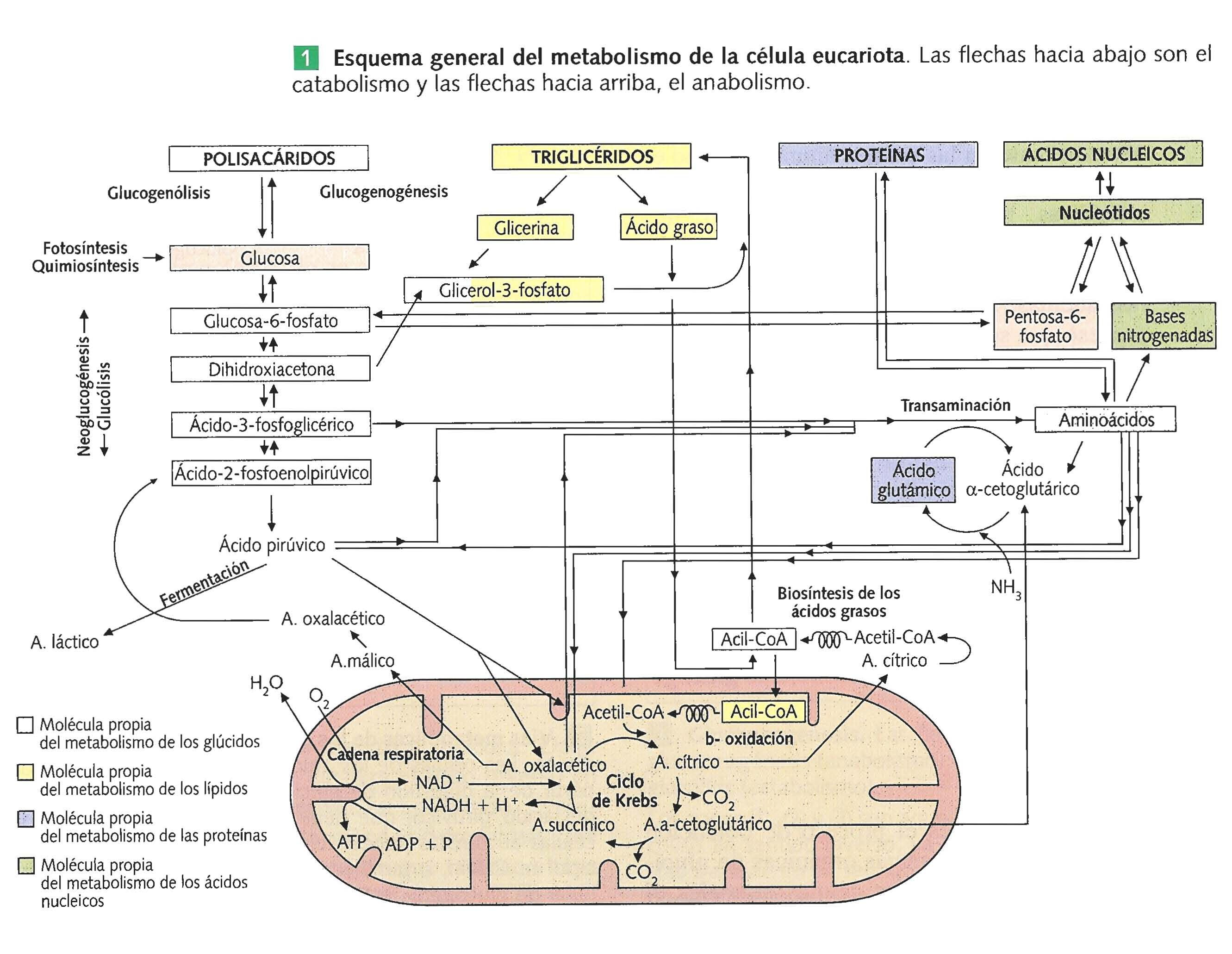 Metabolismo celular general.jpg (2662×2061) | Biology | Pinterest ...