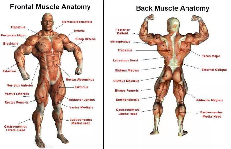 Muscle Anatomy Fitter Not Quitter Pinterest Muscle Anatomy