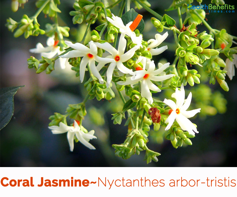 Health benefits of Coral Jasmine (Parijat) Fragrant