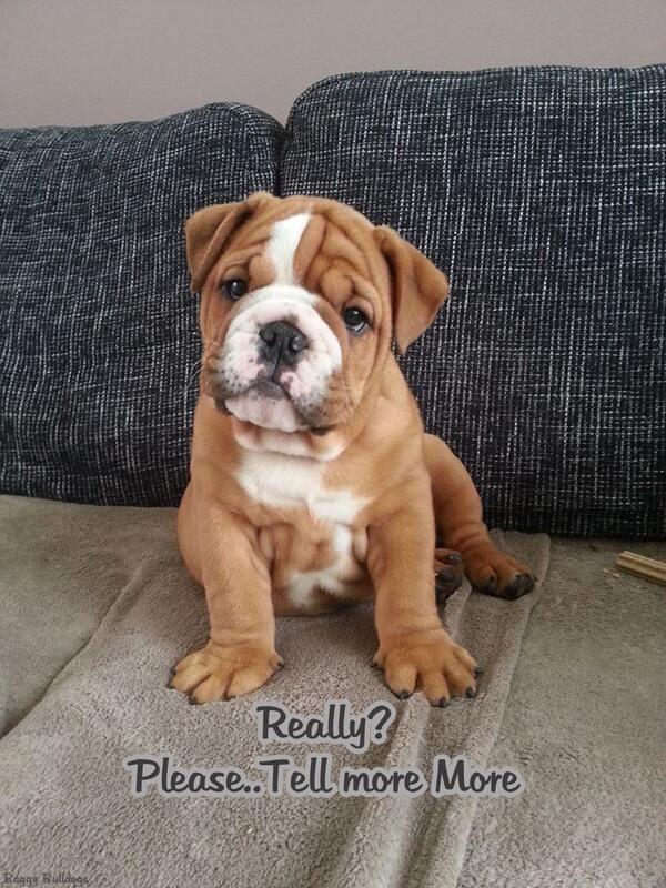 Pin By Faith Schokowitz Sparacino On Bulldog Baby Dogs English