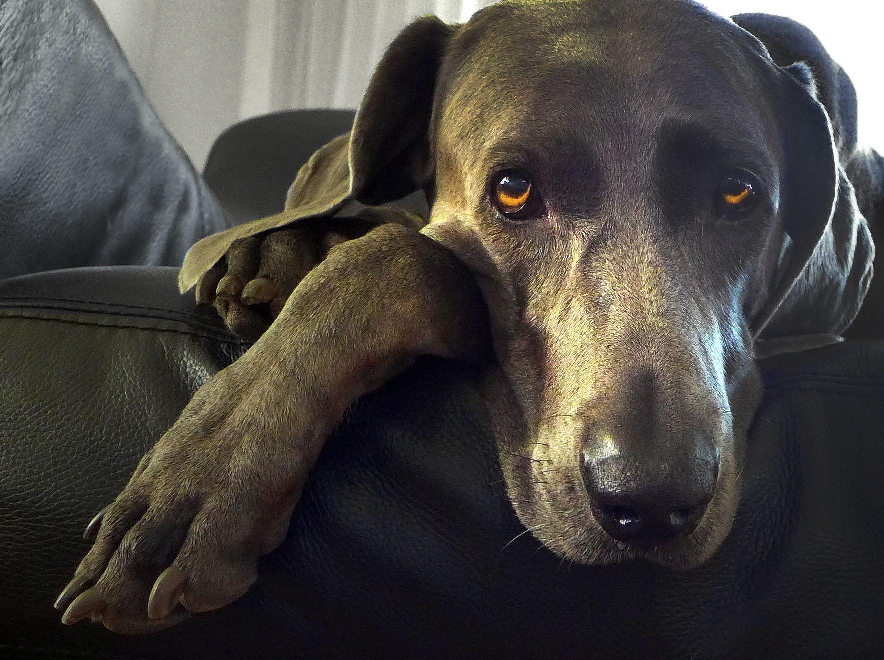 My sweet Grey Gal: Sam Rest in Peace