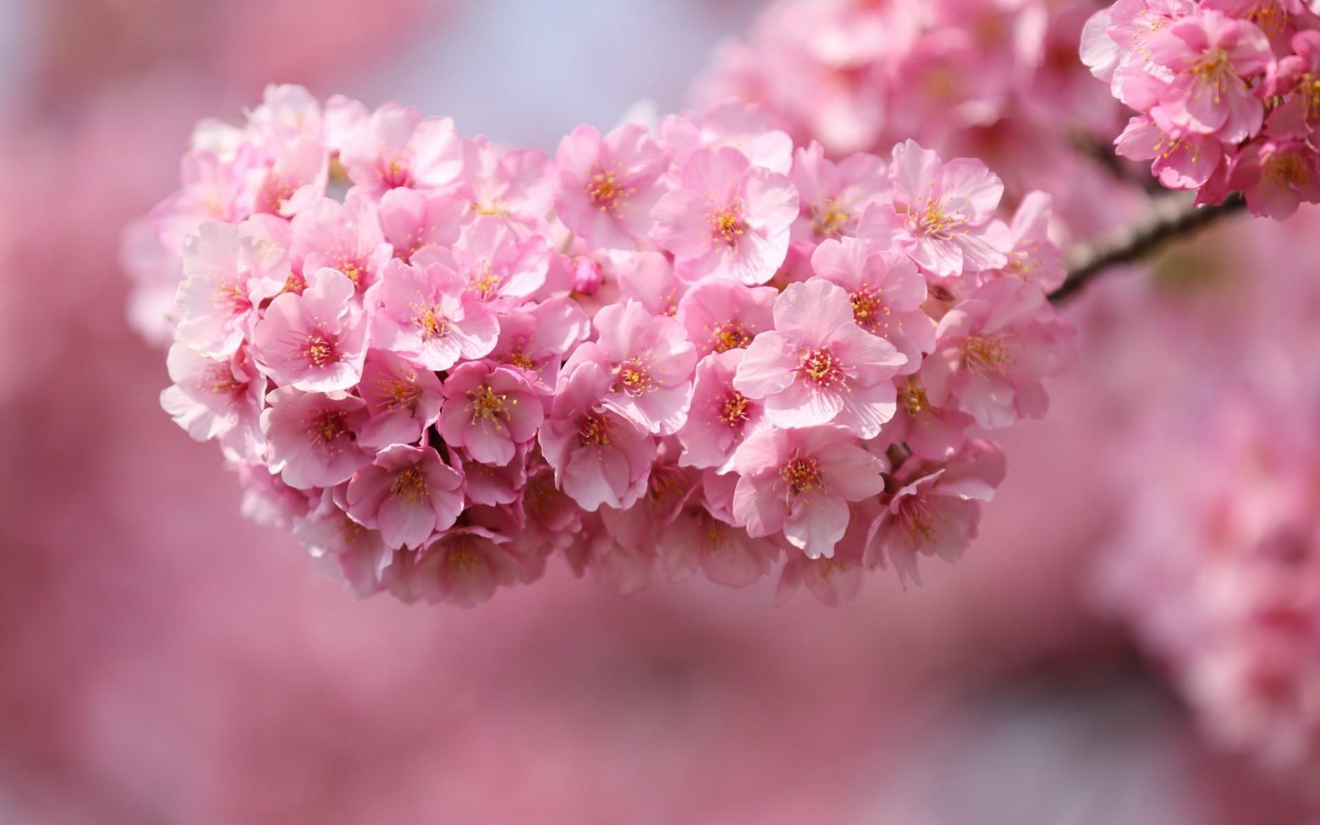 Flowers Blossom Pink Blossoms Hd Wallpapers Desktop Backgrounds Mobile Wallpapers 19 Pink Flowers Wallpaper Flower Desktop Wallpaper Beautiful Pink Flowers