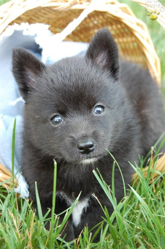 Kacey Pomsky Puppy For Sale In Middlebury In Pomsky Puppies Pomsky Puppies For Sale Pomsky