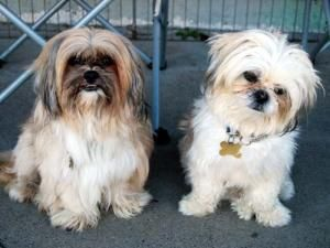 TIMMY & WALDO is an adoptable Shih Tzu Dog in West Los Angeles, CA. PLEASE READ THIS PROFILE AND THE REQUESTED CRITERIA BEFORE CALLING OR SUBMITTING AN APPLICATION. THANKS FOR YOUR ATTENTION AND CONSI...