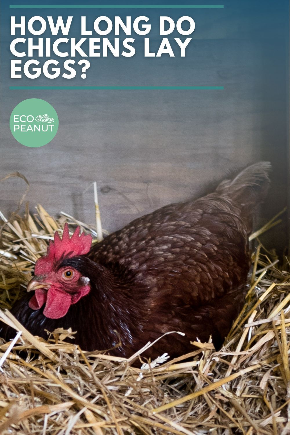 How Long Do Chickens Lay Eggs? in 2020 Chickens