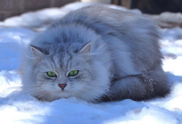 Siberian Siberian Cat Siberian Cat Breeders Pretty Cats