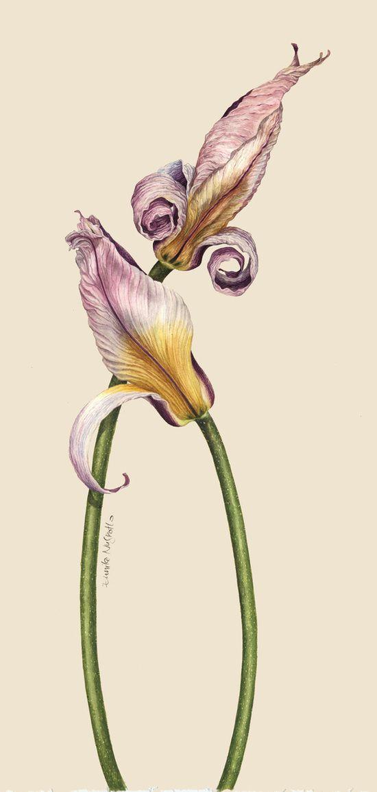 My Tulipa #botanical #watercolour
