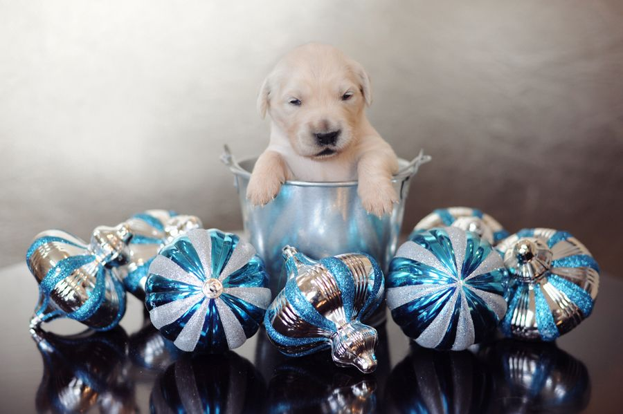 2 Week Old Puppies With Images Puppies Golden Retriever Puppy
