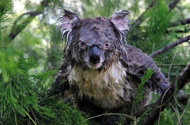 Wet Koala 3 Funny Animals Scary Animals Cute Animals