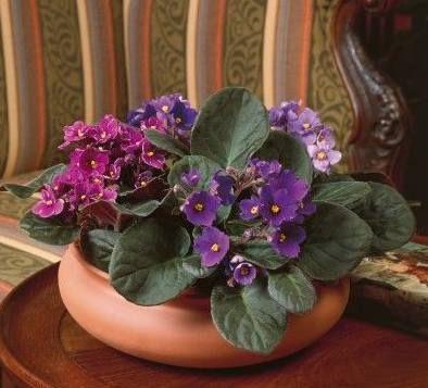 Violeta africana, una opción diferente en plantas de interior ...