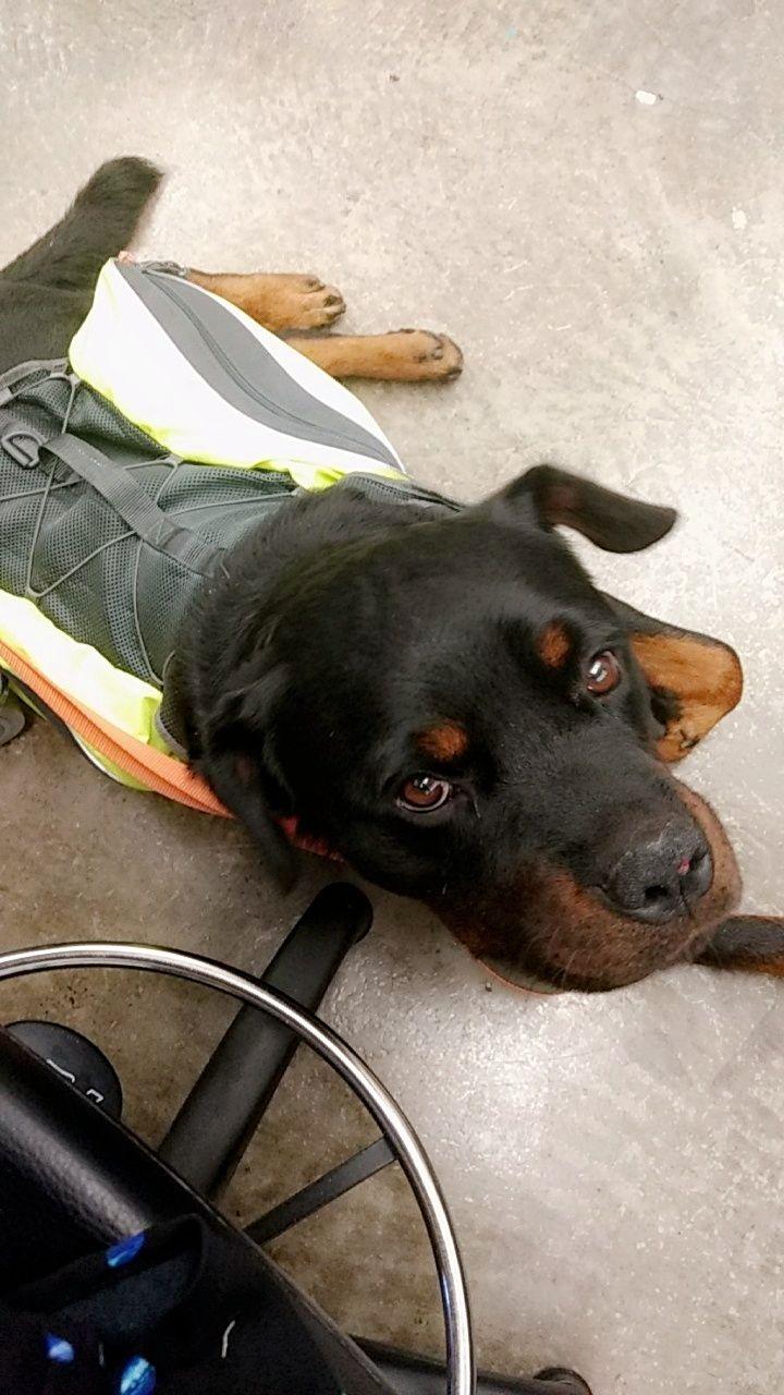 Reddit Meet Justice My New Service Dog Http Ift Tt 2wqi1vz