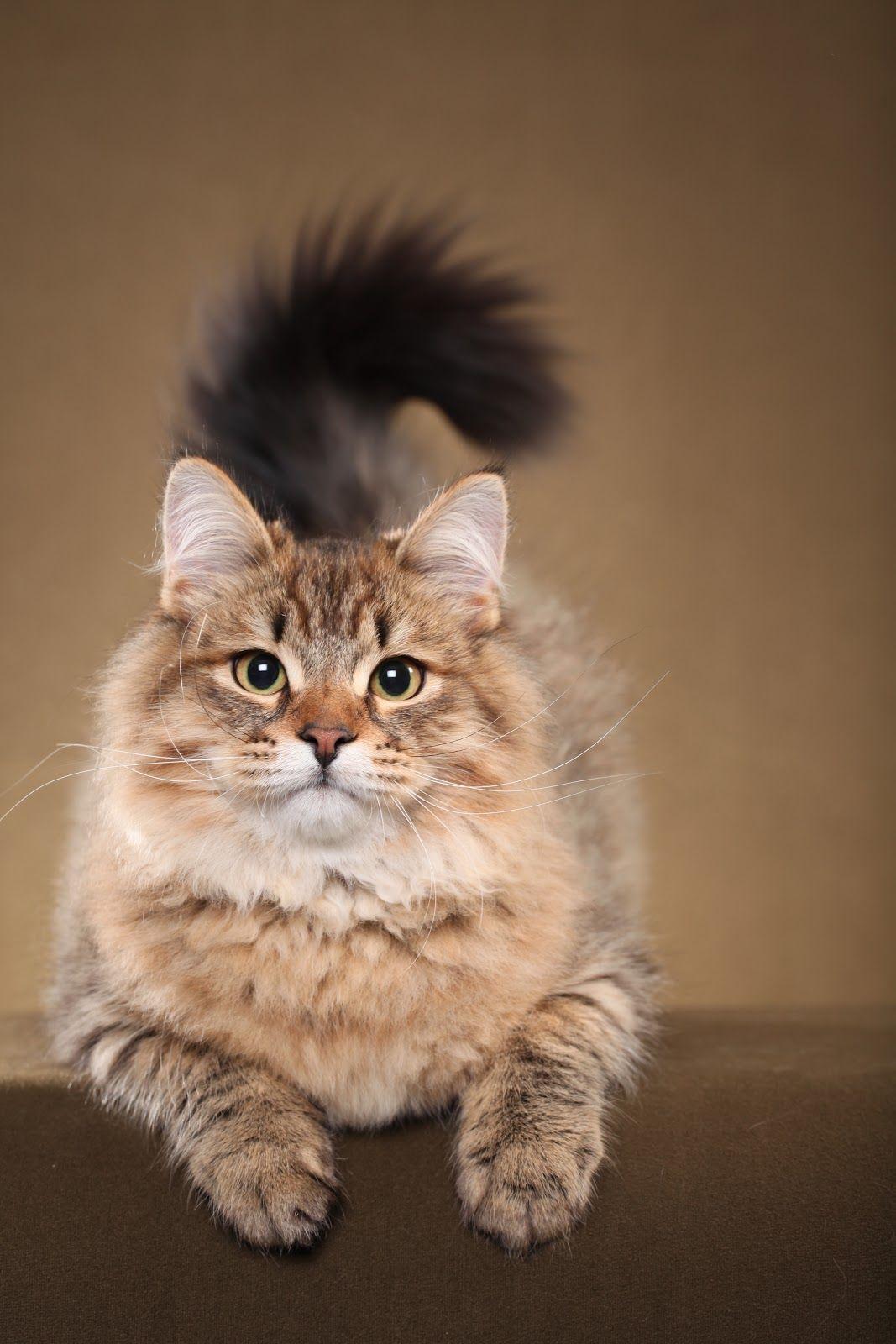 Pin On Siberian Cat
