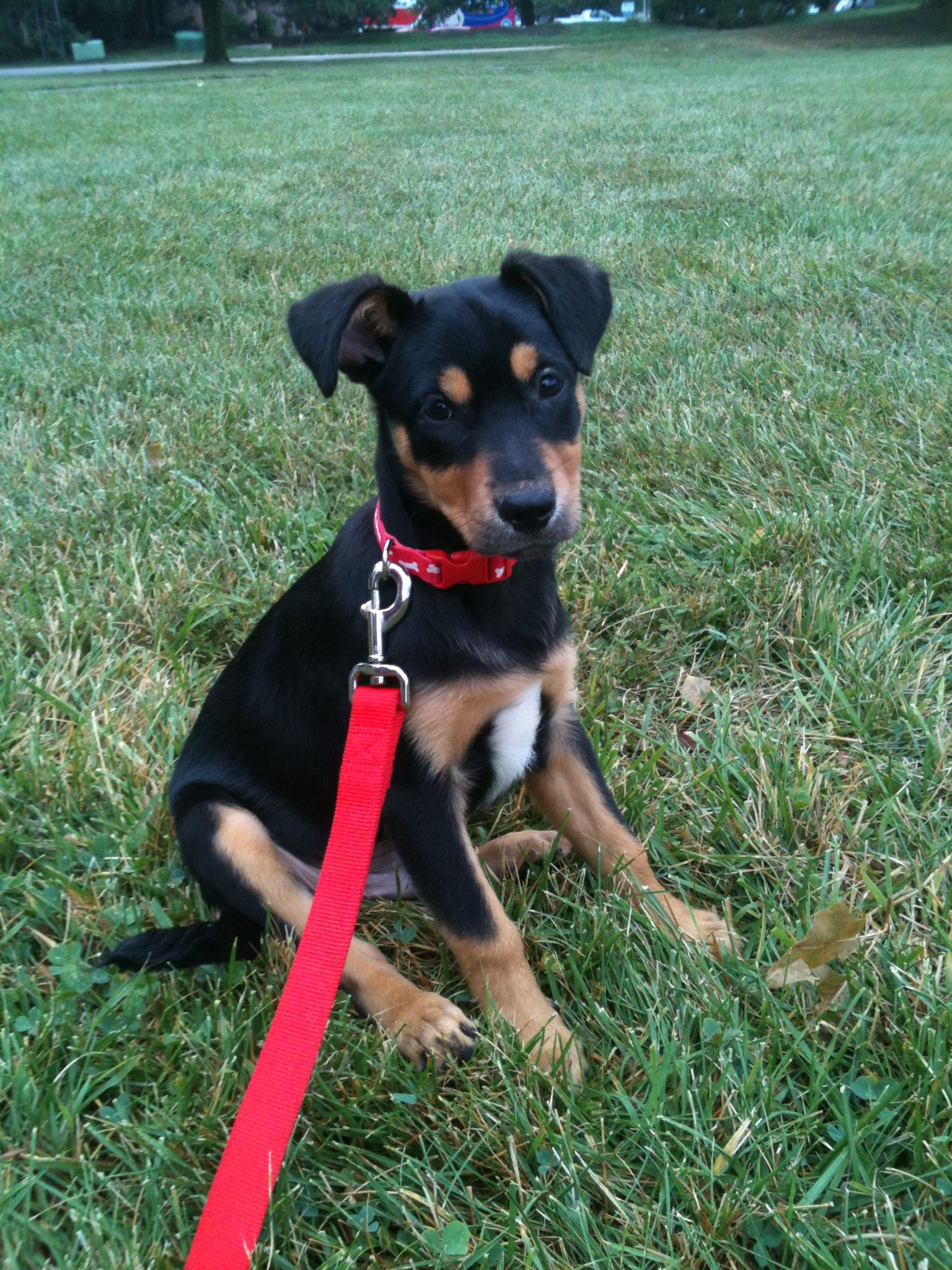 A Rescued Rottweiler German Shepherd Mix 2 Months Old