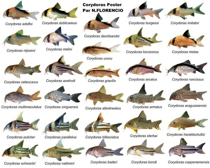 Types Of Corydoras Aquarienfische Aquarium Fische Susswasser Aquarium Fische