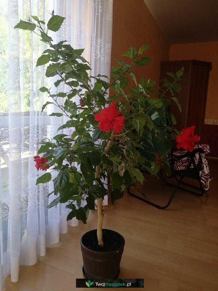 Hibiskus Prosto Z Domu Plants